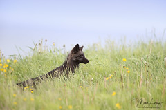 On Alert (Megan Lorenz) Tags: silverfox fox redfox vulpesvulpes melanistic foxkit kit babyanimals animal mammal nature wildlife wild wildanimals newfoundland canada mlorenz meganlorenz