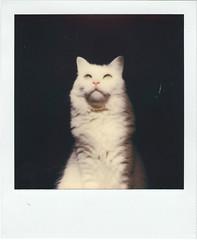 Paco (Tokil) Tags: paco cat turkishangoracat catportrait whitecat greeneyes sunlight home vintage polaroid polaroidonestep