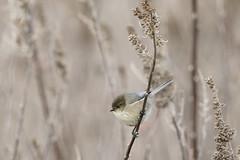 The little one - Bushtit (Chantal Jacques Photography) Tags: bushtit tiny wildandfree