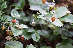 Wild strawberry (Tashata) Tags: macro nature outdoor botanical beautiful bright bokeh berries wild summer wildstrawberry strawberry colors closeup pentaxk01 pentax k01 famacro100mmf28wr smcpentaxdfamacro100mmf28wr