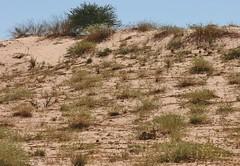 Les dunes rouges du Kgalagadi - Steenbok - spot the aMiNal (safrounet) Tags: ktppaysages kgalagadi southafrica afriquedusud aride arid semiaride semiarid sable sand rouge red trace track vie dune emprunte piste ktp kgalagaditransfrontierpark