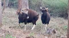Pair of gaurs at dawn (Nagarjun) Tags: gaur indianbison herbivore wildlife animal fauna nagarholenationalreserve riverkabini karnataka