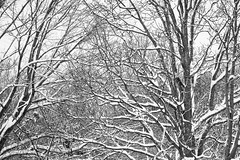 Winter  Bleak - Tangled Oaks (Modkuse) Tags: monochrome blackandwhite bw nature natural oaktree trees snow winter cold bleak art artphotography fineartphotography fineart photoart treescape fujifilm fujifilmxt2 xt2 xf55200mmf3548rlmois fujinon fujinonxf55200mmf3548rlmois