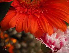 Orange (bd168) Tags: flower shining orange bouquet bokeh oeillet carnation em10markii m1442mmf3556ez couleurs catchycolour