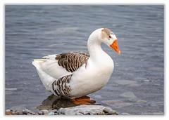 Twente Goose (hey its k) Tags: 2019 birds confederationpark goose lakeontario nature hamilton ontario canada ca imga0179e canon5dmarkiv tamron 150600mm