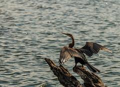 African Darter (1 of 1) (selvagedavid38) Tags: cormorant botswana chobe river water fishing wings drying flight bird africa safari darter snakebird