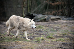 725A8830 (regisfiacre) Tags: parc animalier sainte croix saintecroix rhodes moselle france zoo animal animaux canon 5div mark iv 4 plein format full frame 100400mm is l loups loup arctique arctic blanc weiss white wolf wolves