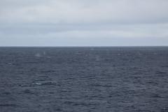 IMG_0313 (y.awanohara) Tags: humpbacks humpbackwhales whales whale southgeorgia scotiasea january2019 wildlife cetacean