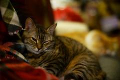 (Light Echoes) Tags: sony 2018 winter february cat chat kot gatto feline pet katze kat kalo gato gate gat animal ta kocka kass kissa miv macska kucing vighro kakis kate qattus katten pisica macka katt kedi mèo cath rescue shorthairdomestic tabby lucy lucindamtoffeenose randall котка 고양이 γάτα kočka 貓 القط חתול बिल्ली 猫 kaķis katė گربه кошка mačka แมว кішка بلی a7ii