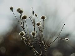 DSC06957 (2) (rolfjanove) Tags: sweden nature garden winter flower sony a7ll nikkor28200 rolfjanove