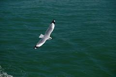 Seagull (saadi.sakib) Tags: seagull sea birds bird blue greenwater aero flight