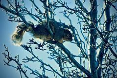 Fox Squirrel (Sciurus niger):  40 Winks (Ginger H Robinson) Tags: foxsquirrel bryantssquirrel treesquirrel tail perch sciurusniger 40winks winter briefnap mockpeartree rockymountain frontrange colorado sky midday balance