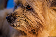 2019.02.20.6459 Big Sister Muddy Muzzle (Brunswick Forge) Tags: 2019 virginia dog dogs doggy doggies puppy puppies terrier terriers cairn cairnterrier terrierist winter nikond500 botetourtcounty house home pet pets animal animals animalportraits earthdogs blossom blossie bigbits grouped favorited commented