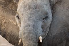 A closer look ... (He Ro.) Tags: 2018 africa afrika botswana kanana kananaconcession okavangodelta southernafrica elefant africanelephant säugetier tier portrait mammal safari wild wilderness closeup loxodontaafricana afrikanischerelefant animal