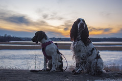 Muikku & Jiippi (Veden valamia 2.0) Tags: english springer spaniel spaniels puppy sunset