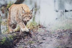 """Lynx en approche"" (regisfiacre) Tags: parc animalier sainte croix rhodes moselle france canon 5div mark iv 4 plein format full frame 100400mm is l animal animaux lynx européen european europe"