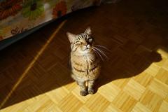 DSC01081 (iocatco) Tags: cat kitten cats sony a7
