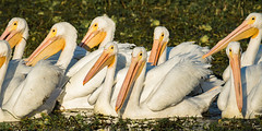 White-Pelicans-10x20-7080 (fredborg) Tags: americanwhitepelican crescentlakepark florida stpetersburg bird breeding bumponbeak