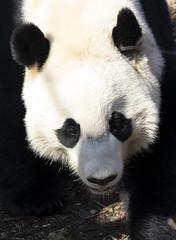 giant panda ( Ailuropoda melanoleuca) (CGDana) Tags: national zoo smithsonian mammal megafauna dc canon 7d mkii
