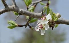 Spring. (Deborah Kotovsky) Tags: blooming bloom flower spring nikond7200 nikon 50mm