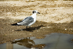 (jfre81) Tags: seagull bird seabird wings feathers animal reflection water wet puddle dirt sand texascity texas city tex tx 409 77590 dike galveston county james fremont jfre81 photography canon rebel xs eos 2019