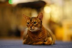 Lizzie suspicious 😾 (DizzieMizzieLizzie) Tags: abyssinian aby lizzie dizziemizzielizzie portrait cat feline gato gatto katt katze kot meow pisica sony neko gatos chat fe ilce ilce7m3 a7iii pose classic pet golden bokeh dof animal t f14 85mm gm 2019