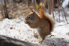 Fuzzy Squirrel (Kurayba) Tags: smcpentaxda200mmf28edifsdm edmonton alberta canada whitemud park creek ravine red squirrel cute fuzzy fluffy soft creature animal wildlife eating sun snow pentax k1 da 200 f28