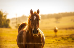 Golden days, Summer is almost over (Julie Holland photography) Tags: summer sunlight sunset horse warmcolor warmlight gold golden canoneos5dmarkiii ef70200f4l 70200f4l 2019
