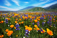 Wishing you good New Year resolutions (DM Weber) Tags: california landscape flowers poppies lupine canon eos5dm2 dmweber psa148