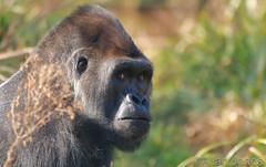 Gorilla (Allan Jones Photographer) Tags: lowlandgorilla gorillacloseup ape animal nature allanjonesphotographer canon5div