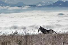 Mountain Zebra, early morning before the mist boils off (SuzieAndJim) Tags: mist nature safari africa southafrica mountainzebranationalpark zebra mountainzebra suzieandjim