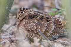 Woodcock Scolopax rusticola (Barbara Evans 7) Tags: woodcock scolopax rusticola rspb titchwell norfolk uk barbara evans7