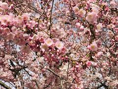 pink (m_big_b) Tags: mannheim spring tree blossoms pink