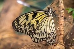 Paper Kite Butterfly (helenehoffman) Tags: idealeuconoe leaves largetreenymph flowers butterfly sandiegozoosafaripark butterflyjungle invertebrate ricepaper paperkite insect hebomoiaglaucippe arthropod animal