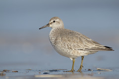 Knot (neil smith2010) Tags: knot wader wading bird shorebird titchwell norfolk wildlife