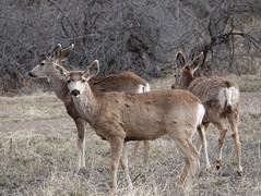 Mule Deer (jdf_92) Tags: denver colorado deer muledeer watertoncanyon