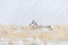Parallel Lines (Khurram Khan...) Tags: pronghorn wildlife wildlifephotography wild wwwkhurramkhanphotocom winter snow iamnikon nikonnofilter