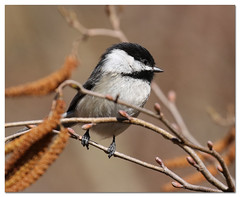 Black-capped Chicadee (Redtail10025) Tags: blackcapped chicadee nyc spring migration birds birding central park north woods