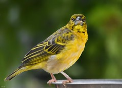Weaver bird! (Nina_Ali) Tags: tropicalbirdland desford leicestershire bird weaverbird yellow feathers fauna avian