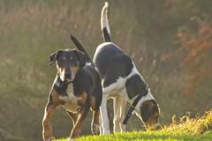 caught in sunlight (RCB4J) Tags: art ayrshire ayrshirecoast babygrace clydecoast dobermanterrier dogs firthofclyde irvinebeach jakob photography rcb4j ronniebarron scotland siameselurcher sony18250mmf3563dtaf sonyilca77m2 trailhound on1 on1pics on1photoraw2019