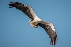 White Bellied Sea Eagle_DSC_4608 (smithtecart) Tags: haliaeetusleucogaster kochang whitebelliedseaeagle bird eagle public raptor thailand