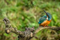 20190407-DSC_3698 (frankreiz) Tags: ijsvogel kingfisher kingfisherhouse frankreiz