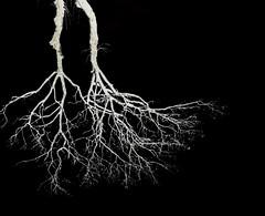 Roots? (rémi22) Tags: racines racine root roots arbre branches noiretblanc blackandwhite negatif negative toulouse