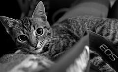 Eyes Wide Open (superhic) Tags: cat cute blackwhite bw eyes eye canon eos blackandwhite