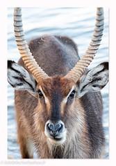 Kenya_0303201930288_DxO-1.JPG (lolofafacha) Tags: cob animaux