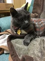 Argent Looks Elsewhere (sjrankin) Tags: 16march2019 edited animal cat argent couch tunic livingroom blanket kitahiroshima hokkaido japan