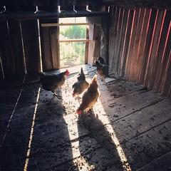 The Girls. www.jessica365.com (Jessica Brookes-Parkhill) Tags: chickensofstarrfarmbeach billsbarn jessica365 thegirls burlingtonvt stb starrfarmbeach chickens chickencoop