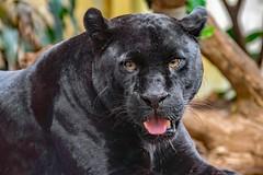 Black Jaguar (nickym6274) Tags: chesterzoo chester cheshire uk zoo animal blackjaguar jaguar bigcat goshi