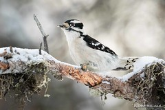 Pic mineur - Downy Woodpecker - Picoides Pubescens (Gilbert Rolland) Tags: