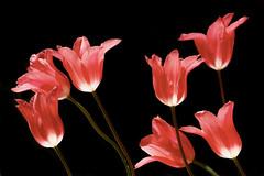 Tulips (prokhorov.victor) Tags: цветок цветы растения флора сад природа весна макро